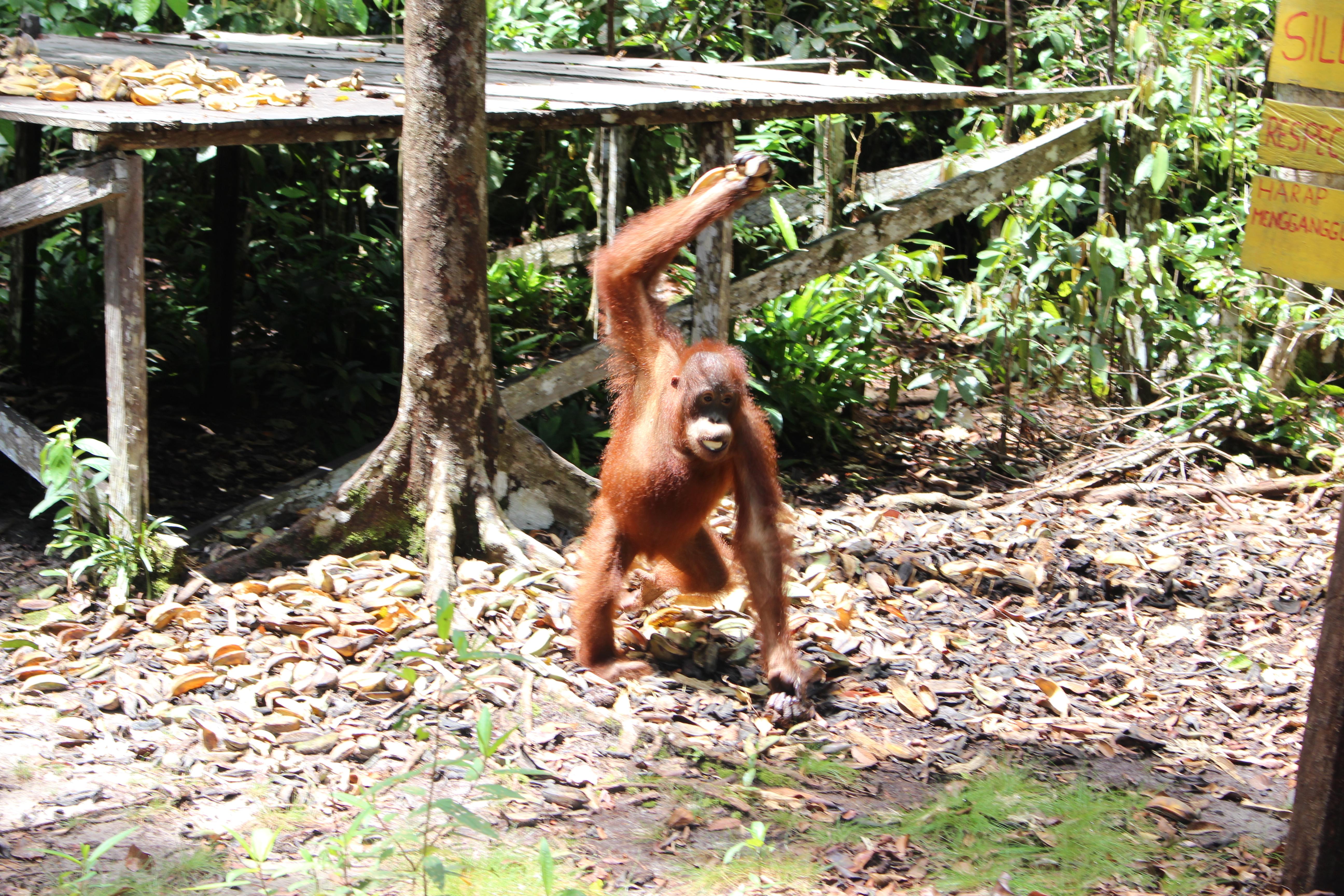 Orangutanes en Tangjung puting
